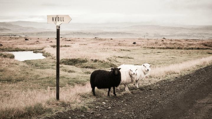sheep730944d1